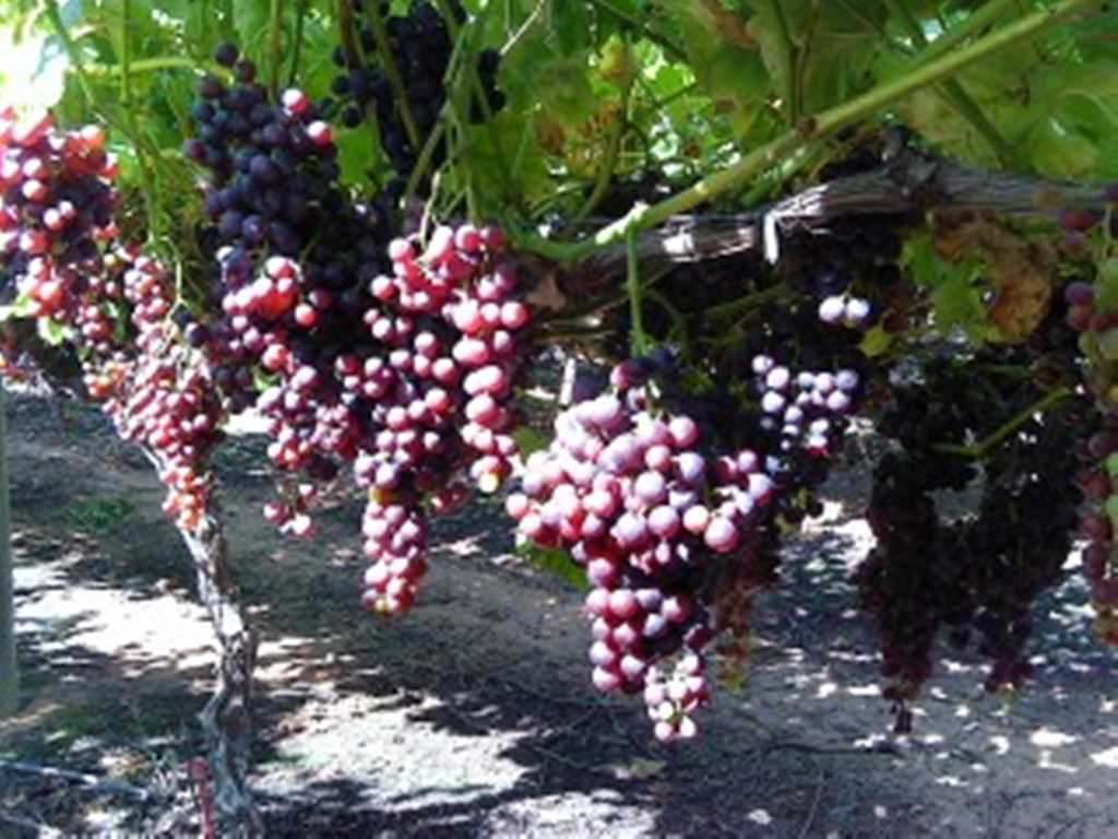 Jabez Farm 'Viticulture Investment Opportunity'