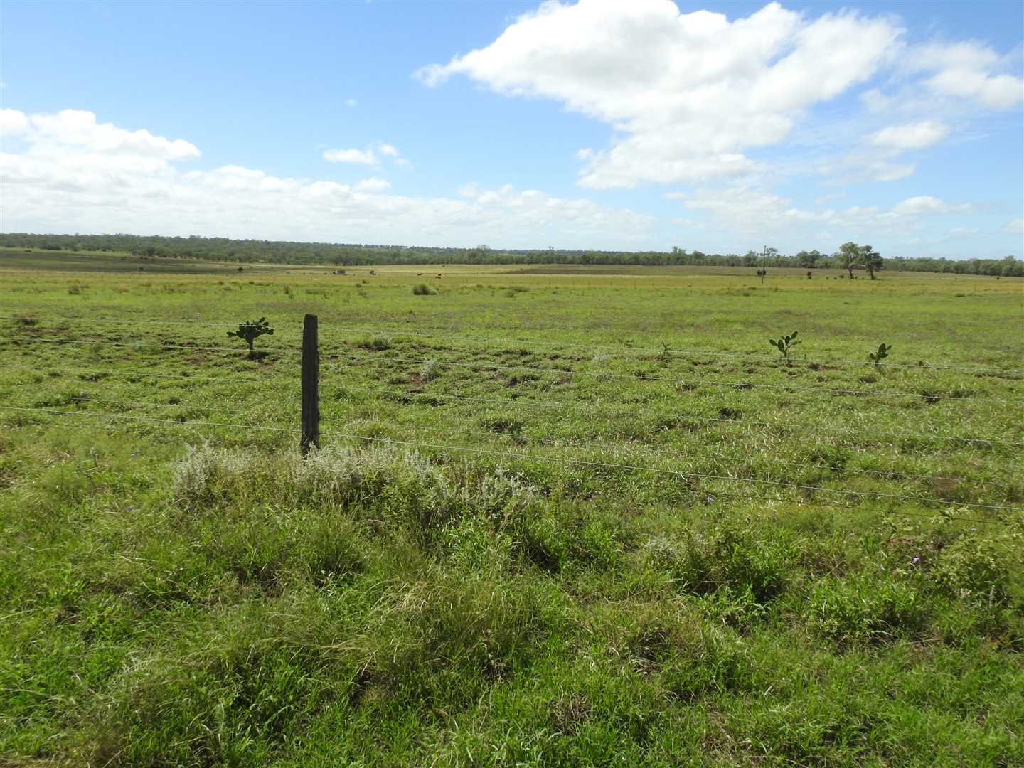 View across property near yards- good stand of buffel grass
