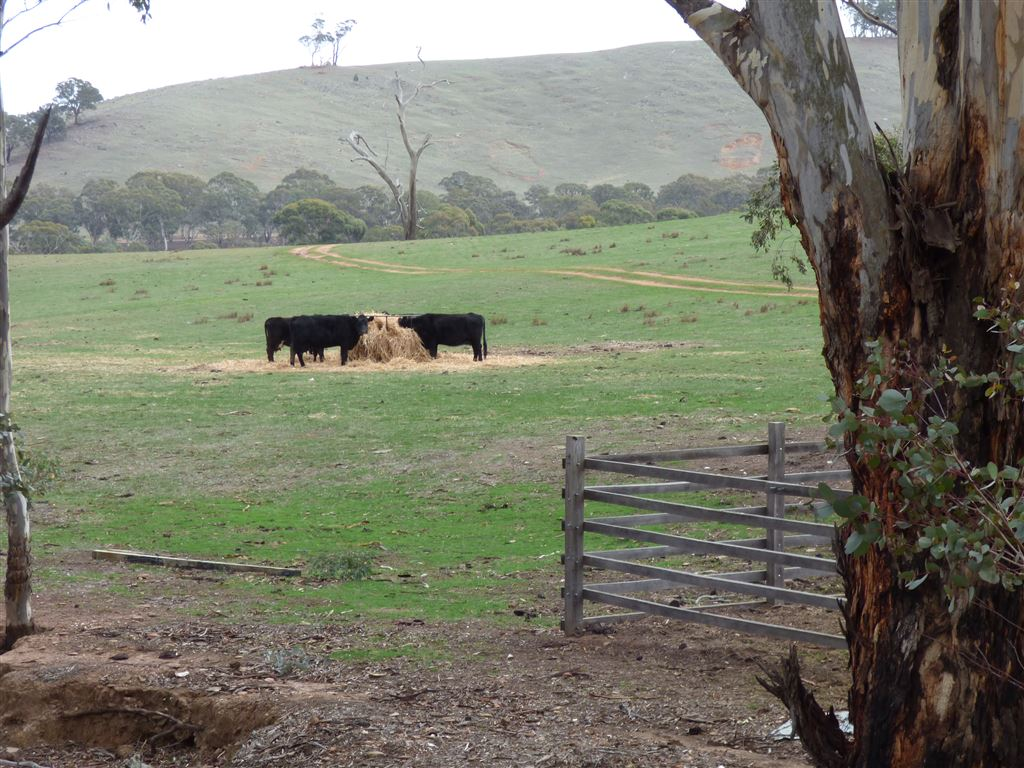 Cows having their hay