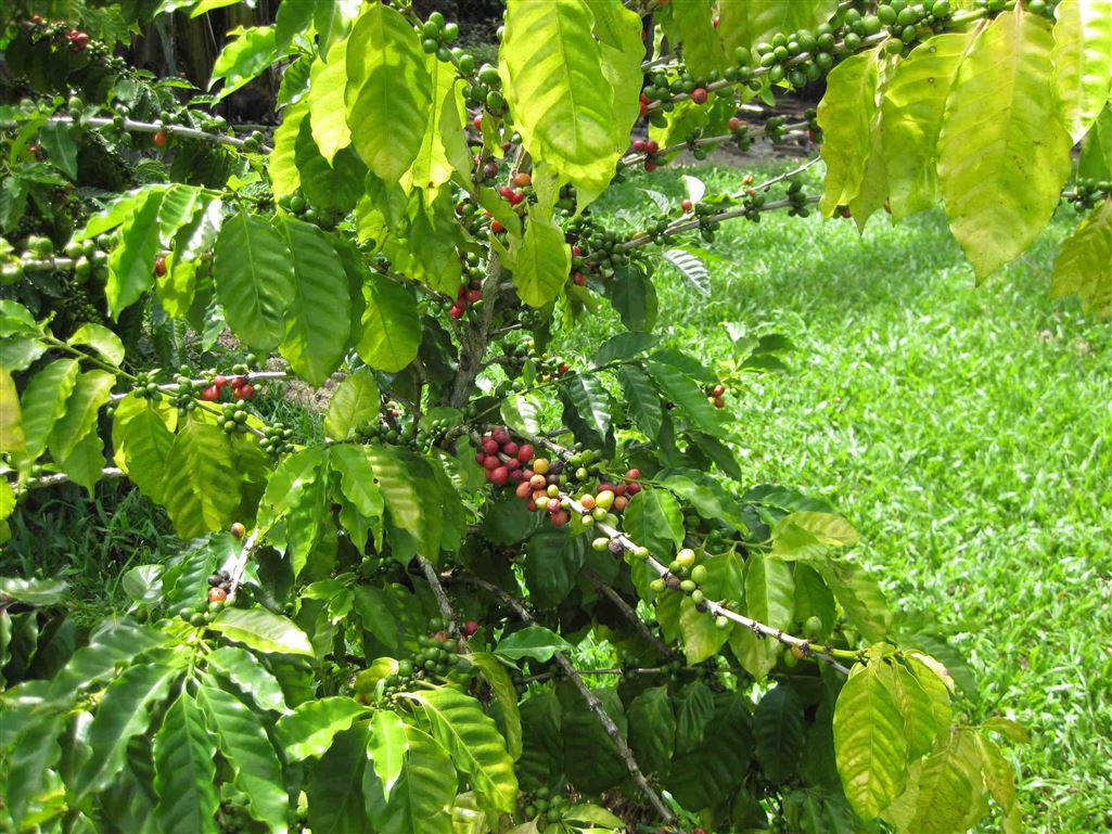 Lot 2, view of Coffee tree showing beans ready for harvest