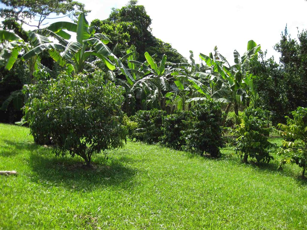 Lot 2, view of part of Coffee trees and Orchard area, photo 1