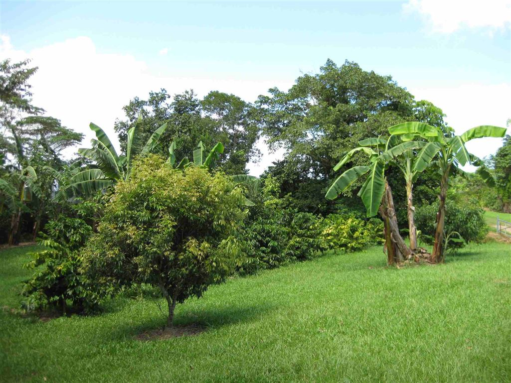 Lot 2, view of part of Coffee trees and Orchard area, photo 2