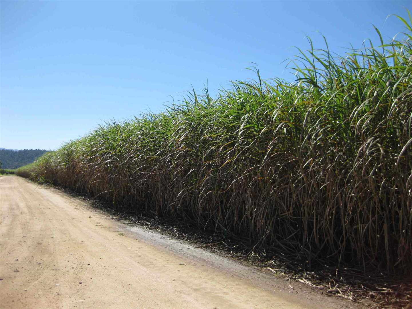 View of part of property showing part of cane crop, photo 1
