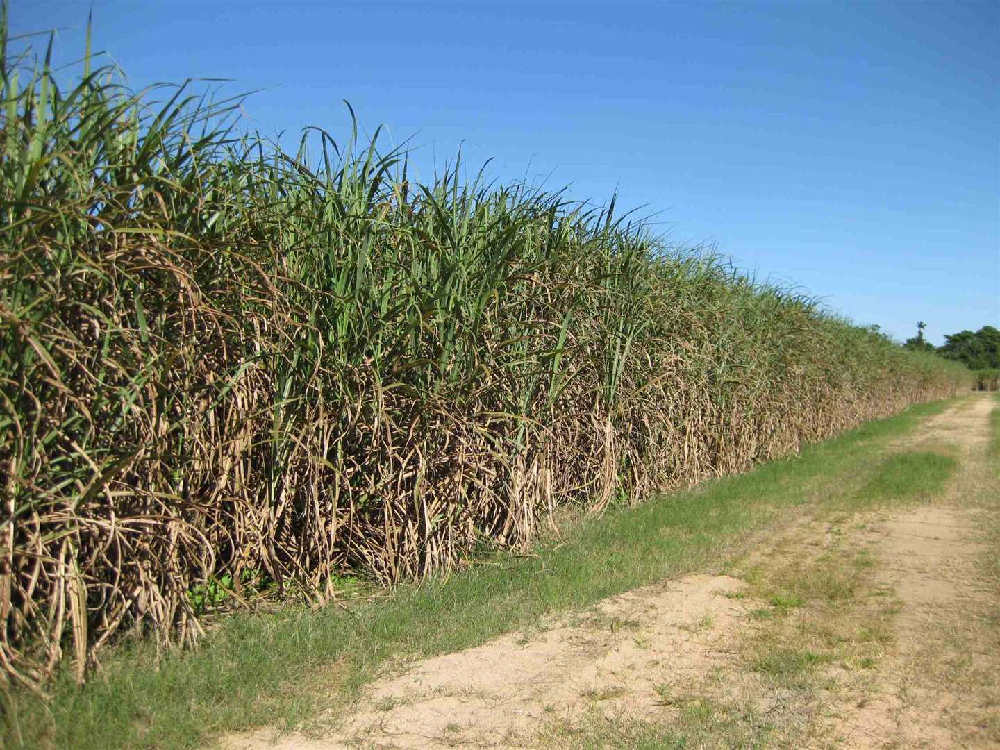 View of part of property showing part of cane crop, photo 2