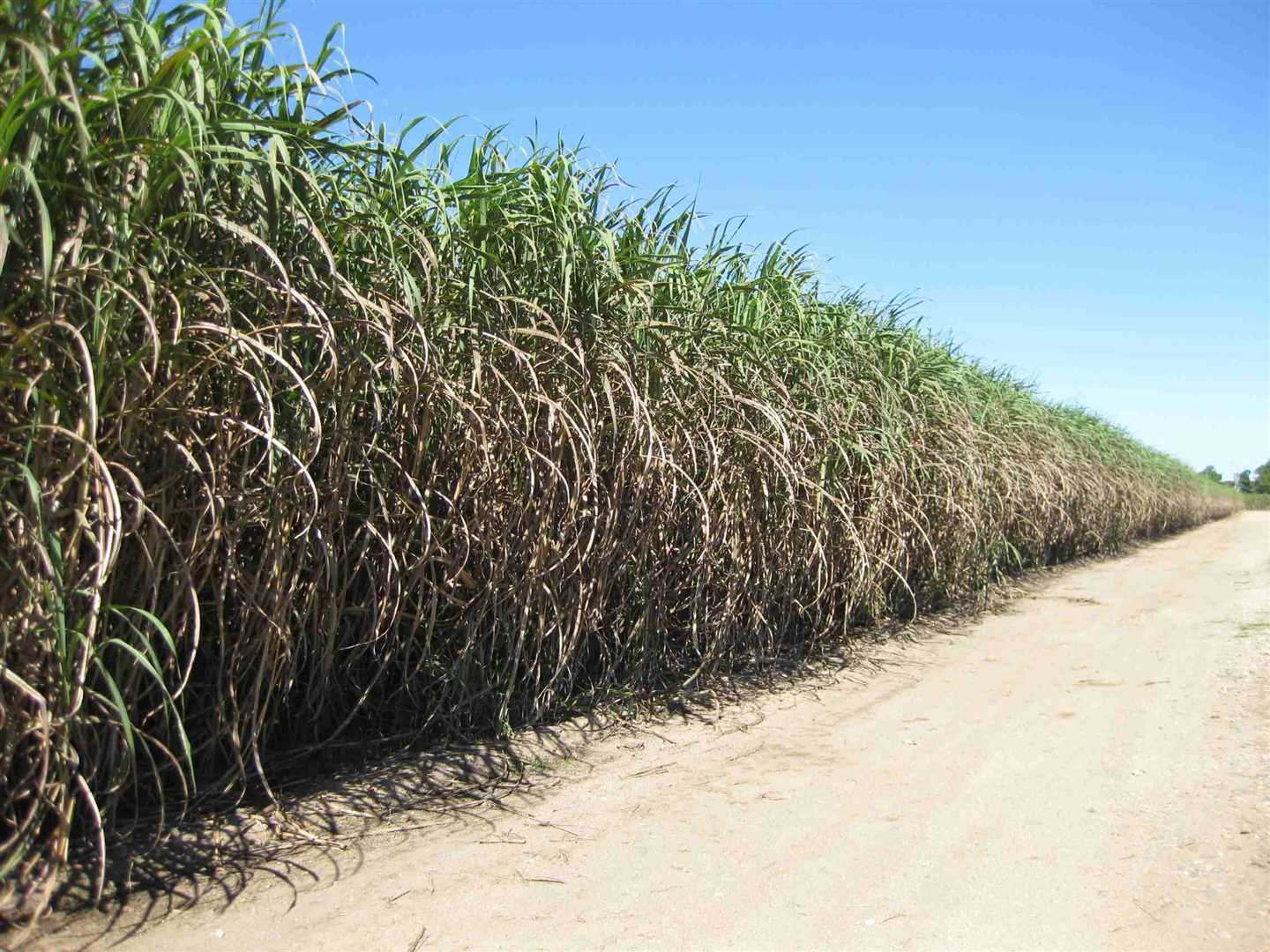 View of part of property showing part of cane crop, photo 4