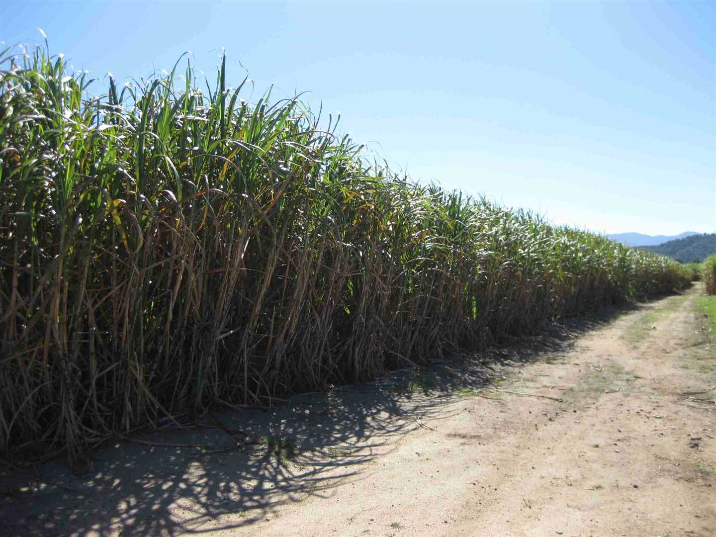 View of part of property showing part of cane crop, photo 5