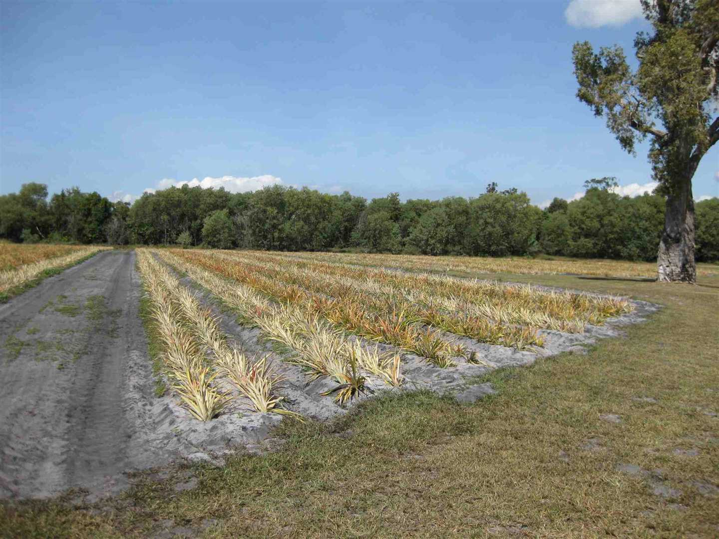 View of part of property, showing part of leased Organic pineapples being grown by the Lessee, photo 2