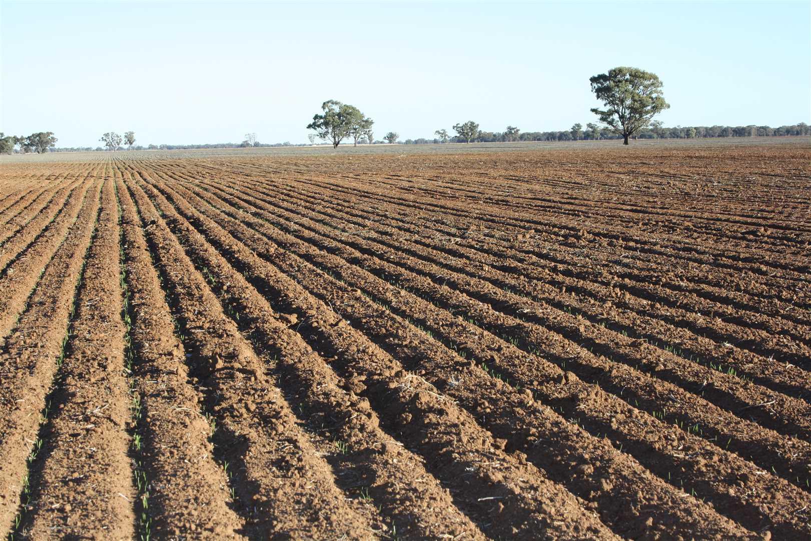 4.7.18 Lancer Wheat