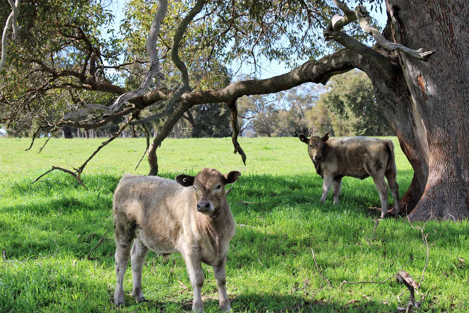 Calves at foot having some fun