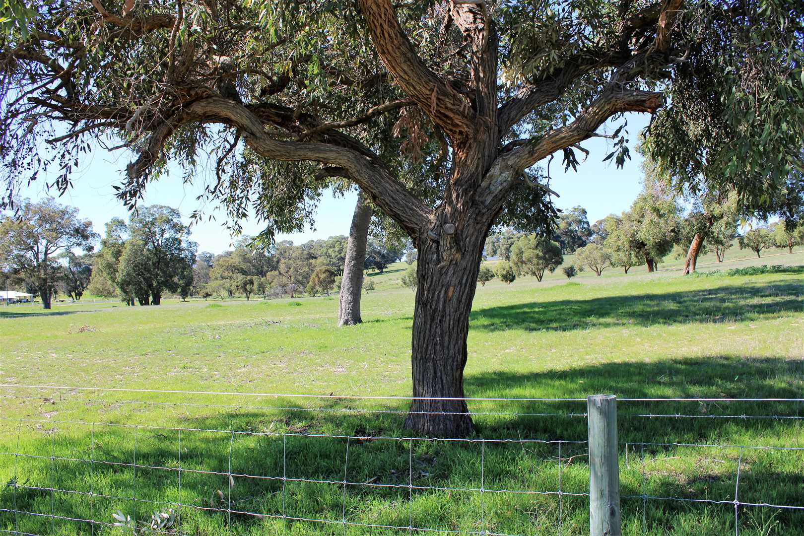 Pasture as far as the eye can see. Beautiful shady trees as Shelter for stock.