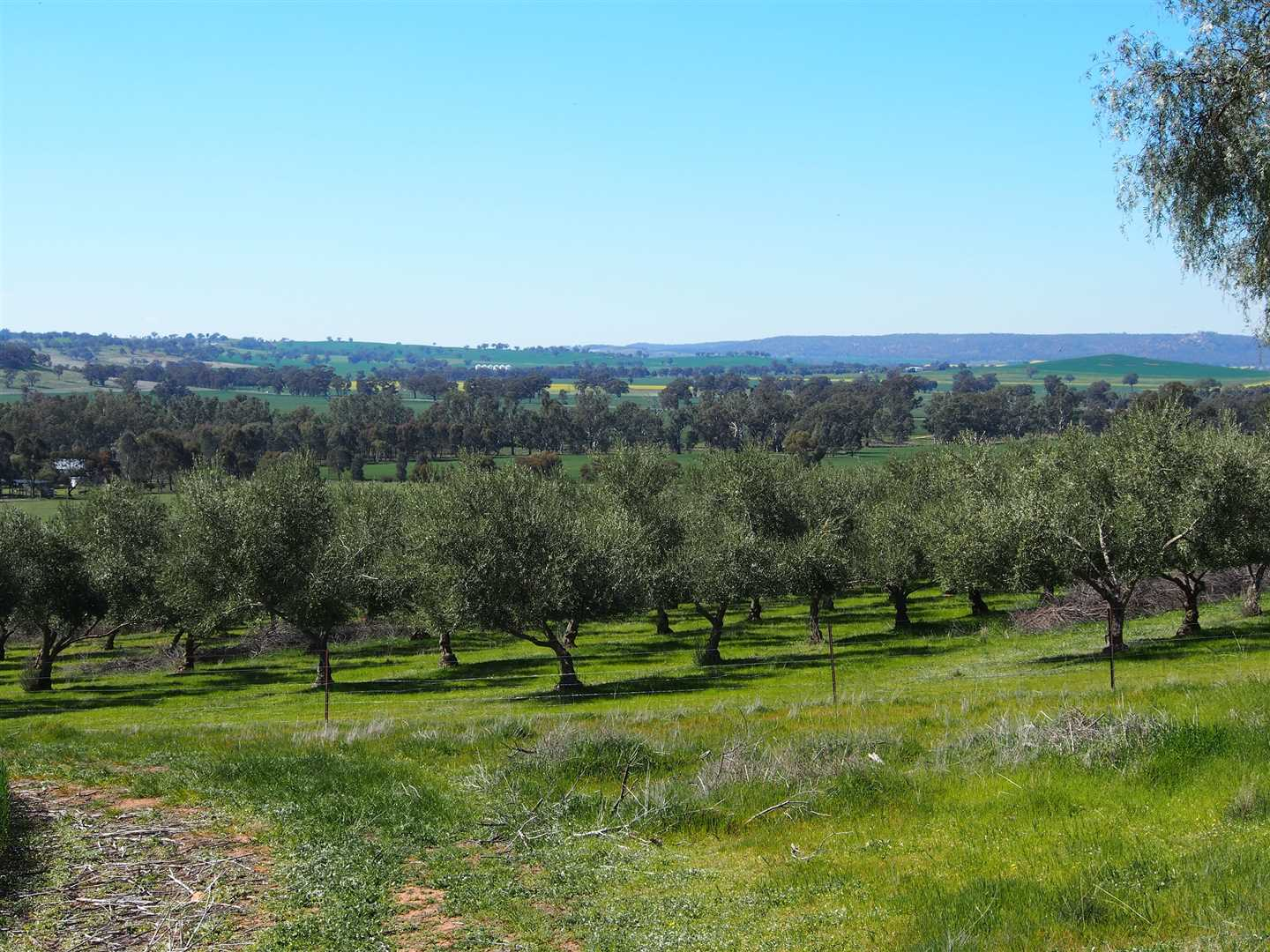 Olive trees and Hills