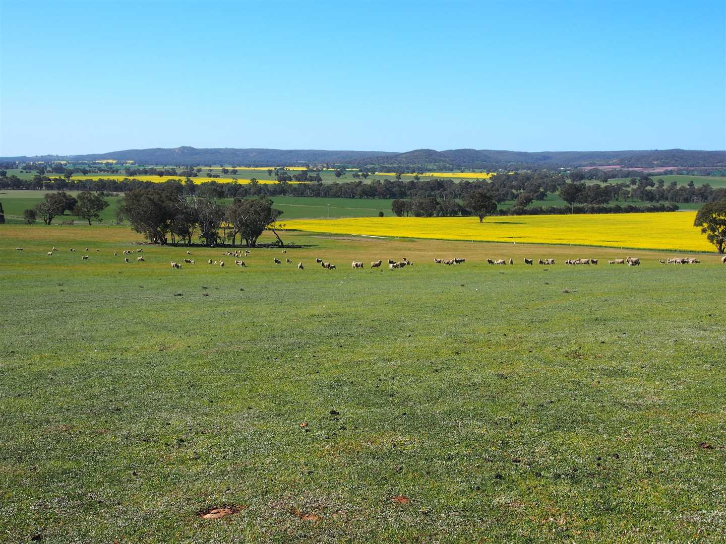 Paddock and distant Canola