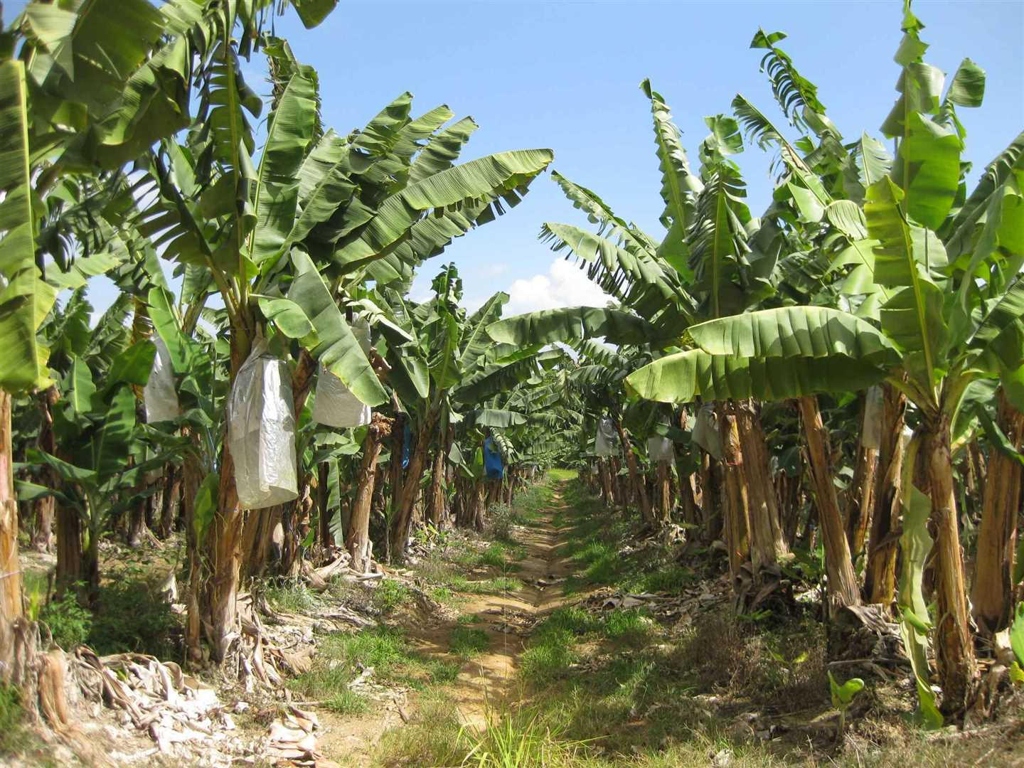 View of some bananas on the property, photo 1