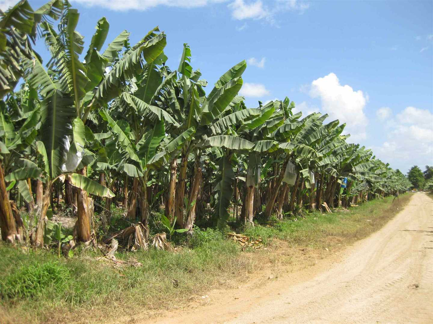 View of some bananas on the property, photo 2