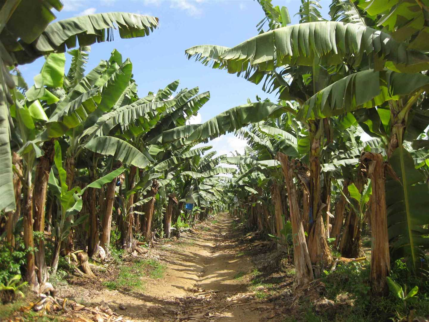 View of some bananas on the property, photo 3