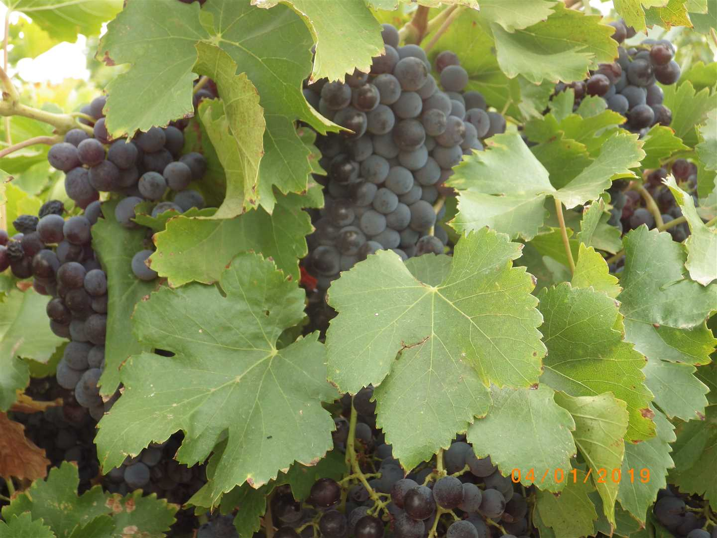 Winegrapes.S98
