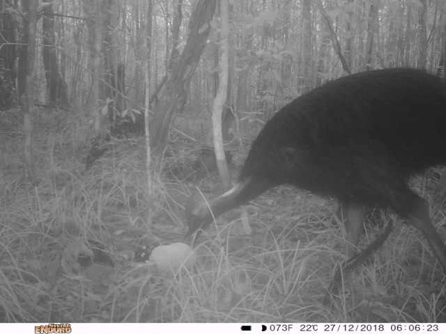Photo showing Cassowary on Lot 29 on the 27.12.2018