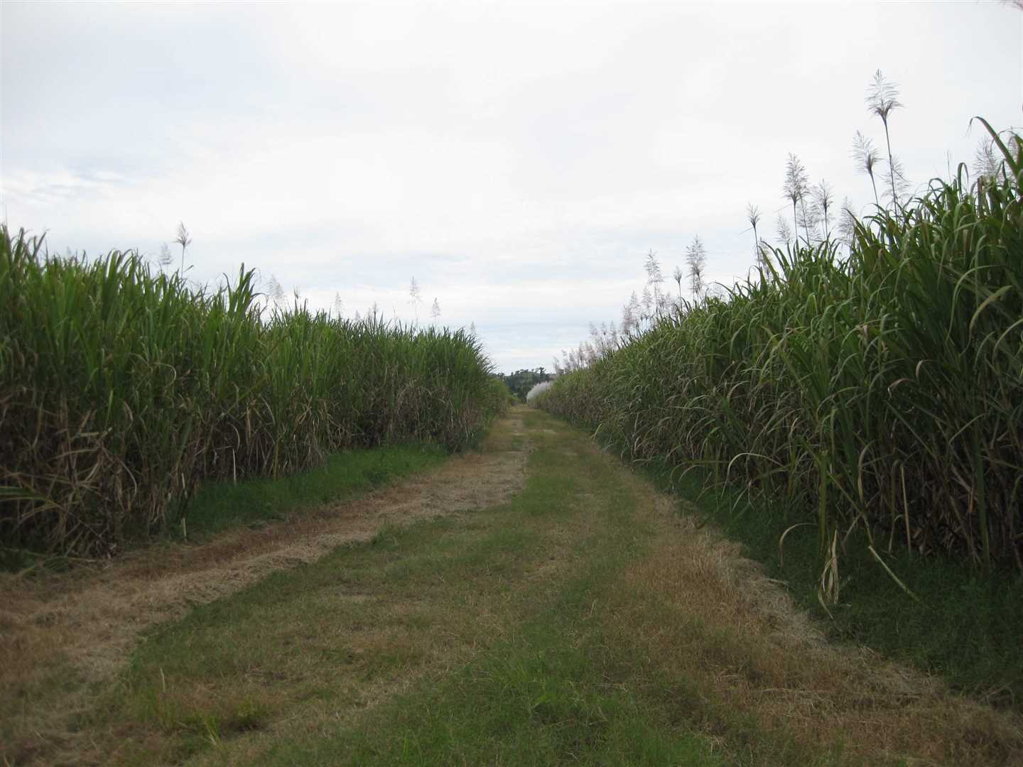 View of part of property, photo 4 (cane crop excluded)