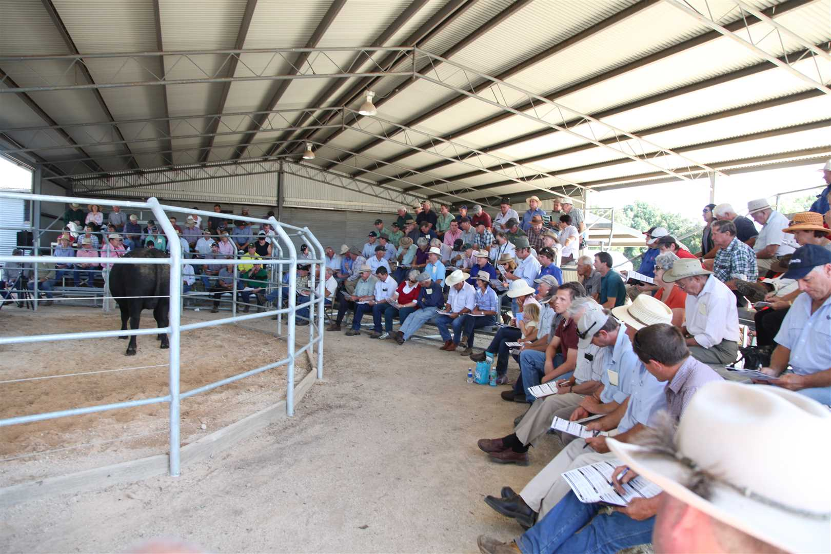 Strong Crowds, easy access for many buyers, North East Victoria such a strong area to be selling Bulls into.