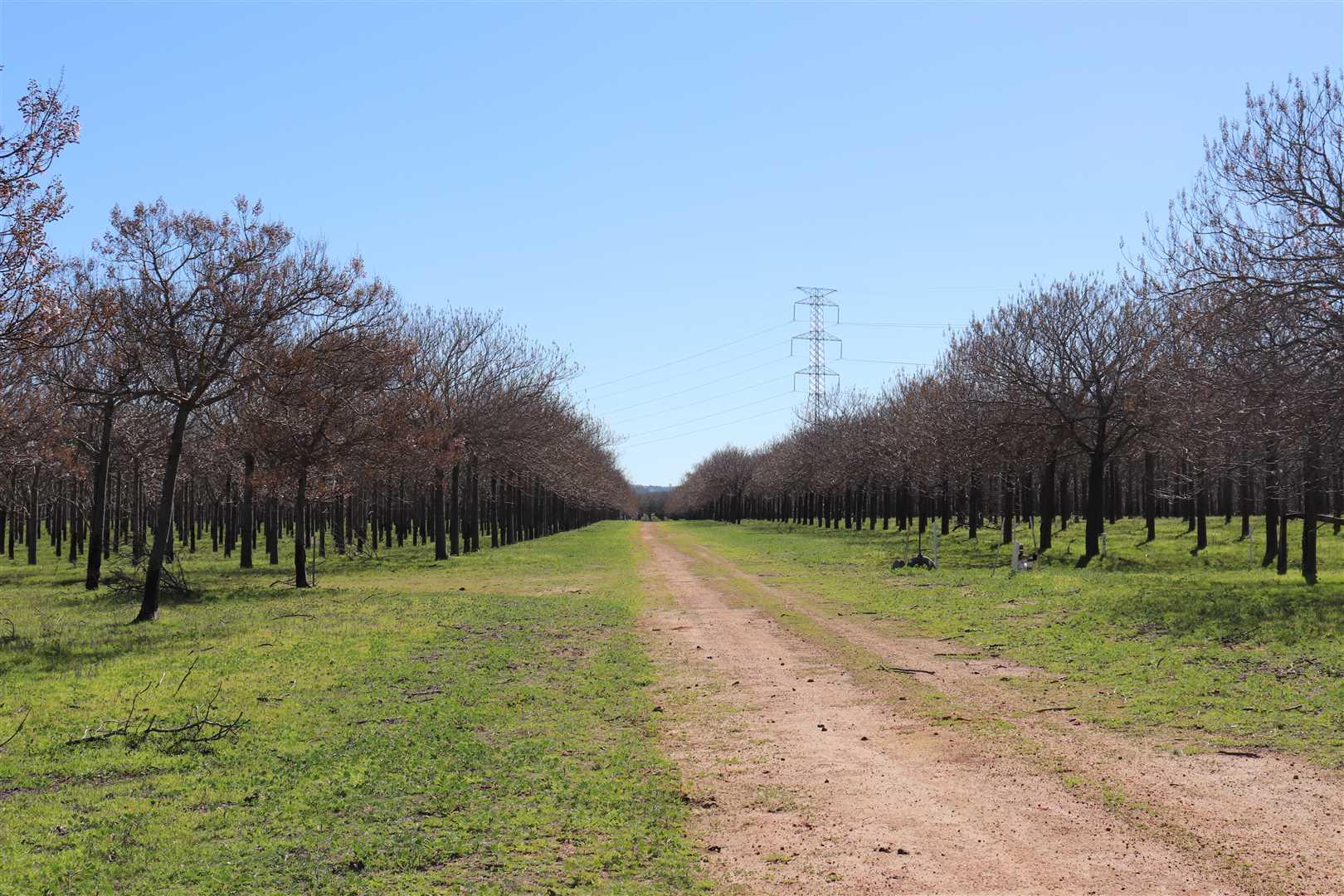 laneway through Paulownia Trees